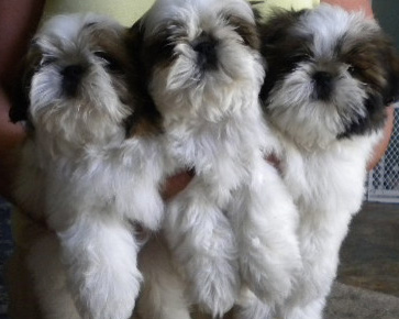 Shih Tzu Showcase Sharon Vanderlip